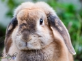 Toffee - Rabbit Portraits - Bishop Auckland