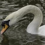 Swan by Chris Hughes Photography