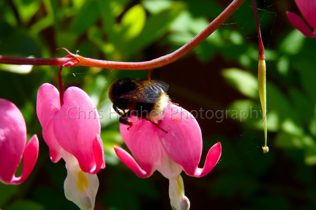 Bee feeding on fuchsia in County Durham