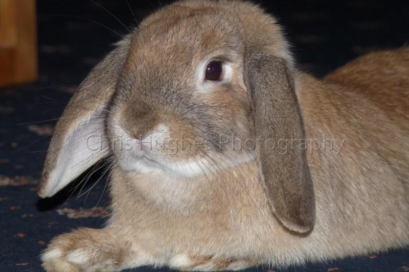 Pet Rabbit Photoraphy North East