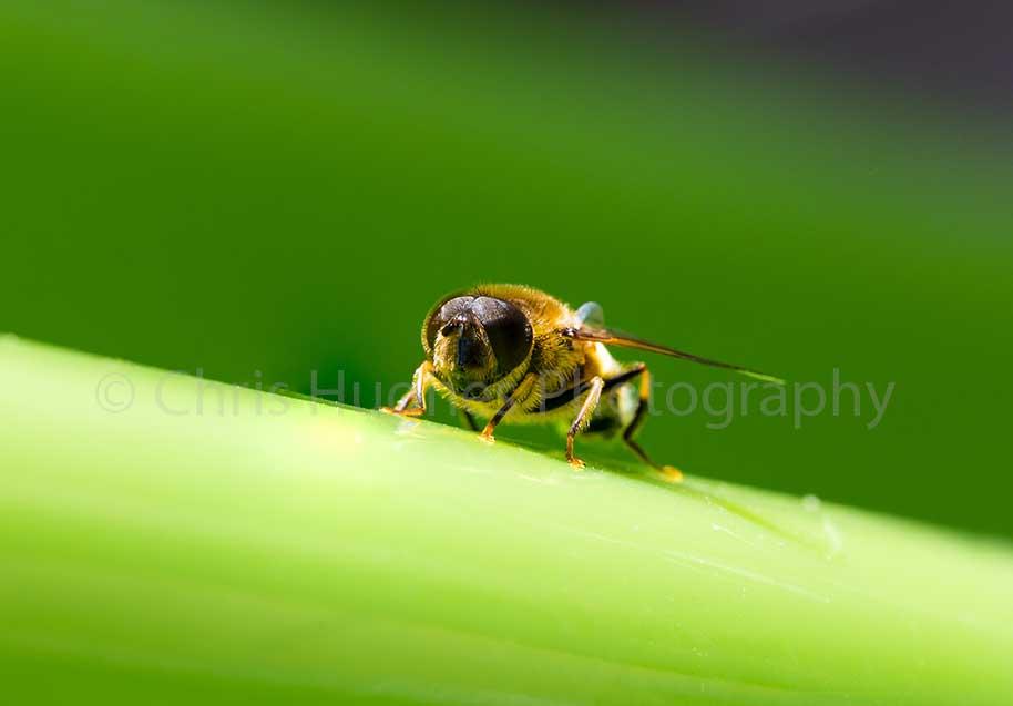Honey Bee in the Summer Sun